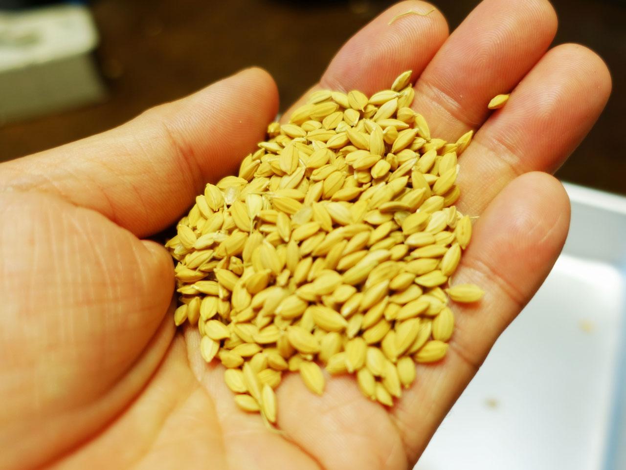 米を食うまでがこんなに大変とは──コデラ総研 家庭部(24)