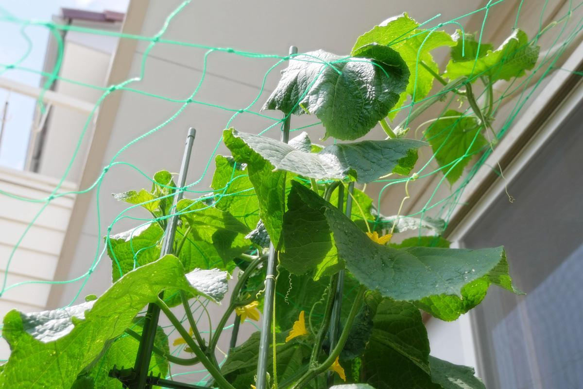 この夏、グリーンカーテンに挑戦──コデラ総研 家庭部(90)